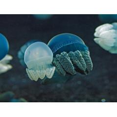 Catostylus mosaicus jellyfish
